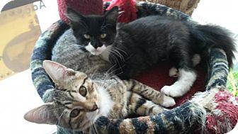 Domestic Mediumhair Kitten for adoption in Eugene, Oregon - Winston