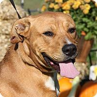 Adopt A Pet :: Sarge (Neutered) - Marietta, OH