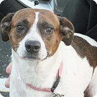 Labrador Retriever/Terrier (Unknown Type, Medium) Mix Dog for adoption in Minneapolis, Minnesota - Sunny