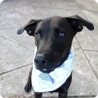 Adopt A Pet :: Baron ~ ADORES Children - St Petersburg, FL