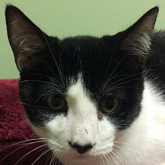 Domestic Shorthair Kitten for adoption in Auburn, California - Shawn aka Prowler