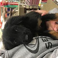Adopt A Pet :: Turkey - House Springs, MO