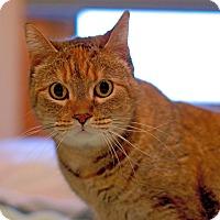 Adopt A Pet :: Rara the lapcat - Troy, MI