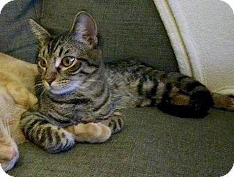 Domestic Shorthair Kitten for adoption in Garland, Texas - Charlie (#2)