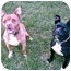 Photo 4 - American Pit Bull Terrier Dog for adoption in Gainesboro, Tennessee - JoeJoe