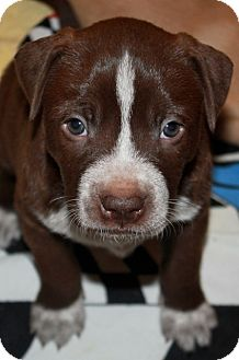 Labrador Retriever/Bulldog Mix Puppy for adoption in Homewood, Alabama - Shanti