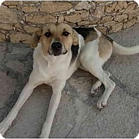 Adopt A Pet :: Izzy B - Albuquerque, NM