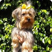 Yorkie, Yorkshire Terrier Dog for adoption in Fort Lauderdale, Florida - Bell