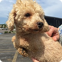 Adopt A Pet :: Pierre - Toy Poodle - St. Petersburg, FL