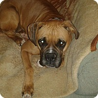 Boxer Dog for adoption in Hesperia, California - Rory