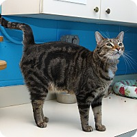 Domestic Shorthair Cat for adoption in Oakland, New Jersey - Sugar Baby