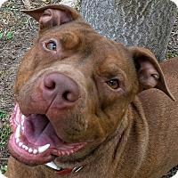Adopt A Pet :: Sunny - Guest - Dallas, TX