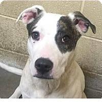 Adopt A Pet :: Caroline - Springdale, AR