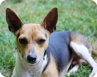 Rat Terrier Dog for adoption in Virginia Beach, Virginia - Finley (VA)