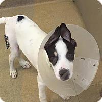 Adopt A Pet :: S/C Connor - Miami, FL
