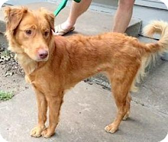 Golden Retriever Mix Dog for adoption in Lee's Summit, Missouri - Florence - COURTESY LISTING