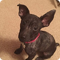 Fox Terrier (Toy)/Chihuahua Mix Puppy for adoption in Riverview, Florida - Nicholas