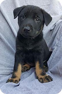 German Shepherd Dog Mix Puppy for adoption in Champaign, Illinois - Sasha