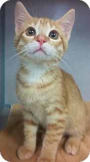 Domestic Shorthair Kitten for adoption in Riverview, Florida - Brutus
