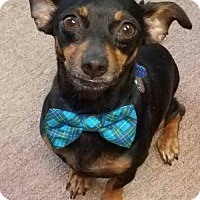Miniature Pinscher/Chihuahua Mix Dog for adoption in Dallas, Texas - Monty