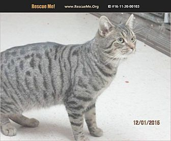 Bengal Cat for adoption in Madison, Tennessee - Bowen
