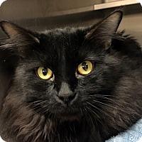 Adopt A Pet :: Norman - North Las Vegas, NV
