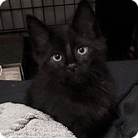 Adopt A Pet :: Starling - Freehold, NJ