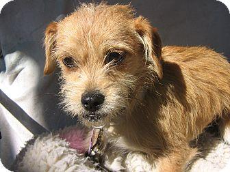 aki adopted dog irvine ca cairn terriershih tzu mix