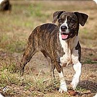 Adopt A Pet :: Alice - Albany, NY