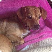 Adopt A Pet :: Gino - Livermore, CA