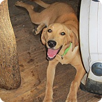 Adopt A Pet :: Goldie - Williston Park, NY