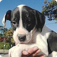 Adopt A Pet :: MILEY- CHANCE BOY - Pompton lakes, NJ