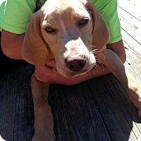 Adopt A Pet :: Zeke - Stamford, CT