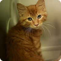 Adopt A Pet :: Cinnamon - Chicago, IL