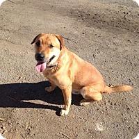 Labrador Retriever/Belgian Shepherd Mix Dog for adoption in Fallbrook, California - Christopher