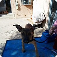 Adopt A Pet :: Pendale - El Paso, TX