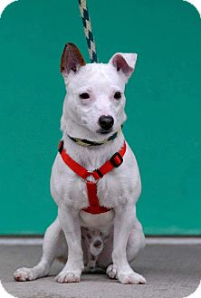 Jack Russell Terrier Mix Dog for adoption in Pottsville, Pennsylvania - Ghost