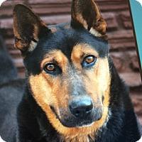 Adopt A Pet :: SAMPSON VON SACHSEN - Los Angeles, CA