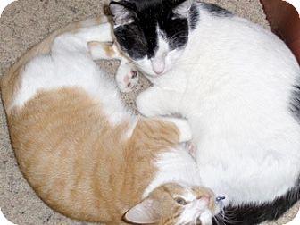 Domestic Mediumhair Cat for adoption in Dallas, Texas - Jinx & Loki