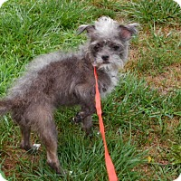 Adopt A Pet :: Ozzie - Bernardston, MA