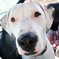 American Pit Bull Terrier Mix Dog for adoption in Austin, Texas - Venus
