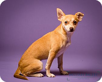 Chihuahua Mix Dog for adoption in Norwalk, Connecticut - Boston - MEET ME