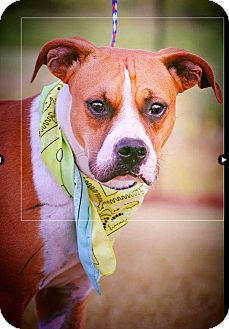 Boxer Mix Dog for adoption in Boca Raton, Florida - Gabe