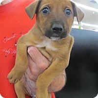 Adopt A Pet :: Pippa - Rocky Mount, NC