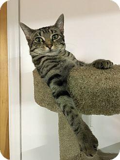 Domestic Shorthair Cat for adoption in Butner, North Carolina - Dottie