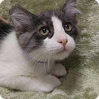 Domestic Mediumhair Kitten for adoption in Las Vegas, Nevada - Levi (kitten)
