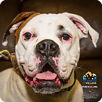 Boxer Dog for adoption in Evansville, Indiana - Smokey