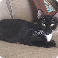 Domestic Shorthair Cat for adoption in Tucson, Arizona - Tuxy