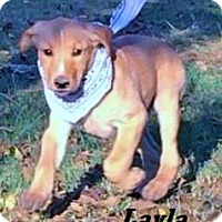 Adopt A Pet :: Layla meet me 11/11 - Manchester, CT