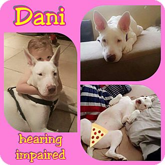 Dogo Argentino Mix Dog for adoption in Mesa, Arizona - Dani